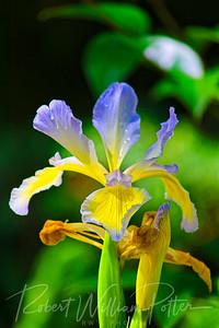 0925-Iris