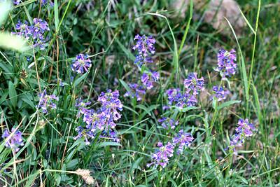 7/10/07 Meadow Penstemon (Penstemon rydbergii). Virginia Lakes, Toiyabe National Forest, Eastern Sierras, Mono County, CA