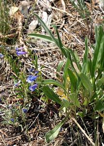 7/10/07 Blue Penstemon (Penstemon laetus)? Virginia Lakes Road, Toiyabe National Forest, Eastern Sierras, Mono County, CA
