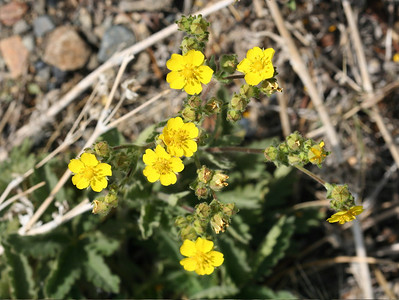7/10/07 Cinquefoil (Potentilla gracilis). Virginia Lakes Road, Toiyabe National Forest, Eastern Sierras, Mono County, CA