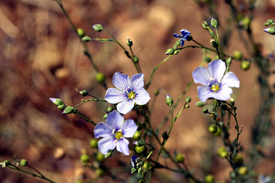 7/10/07 Blue Flax (Linum lewisii). Virginia Lakes Road, Toiyabe National Forest, Eastern Sierras, Mono County, CA