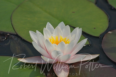 0163-White Waterlily