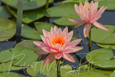 0162-Pink Waterlilies