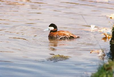August 2004. Ruddy Duck (Oxyura jamaicensis). At shore of Legg Lake. Whittier Narrows Recreation Area, Los Angeles County, CA