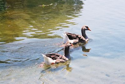 August 2004. Domestic Greylag Geese (Anser anser). Legg Lake, Whittier Narrows Recreation Area, Los Angeles County, CA