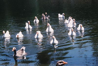 August 2004. Assorted waterfowl, including Greylag-type geese (Anser anser). Whittier Narrows Recreation Area, Los Angeles County, CA