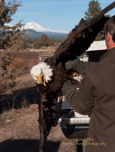 On March 9, 2012 raptor rehabilitaion specialist Gary Landers and veterinary doctor Little Lieblad released back to the wild a bald eagle whose life was saved using cutting edge 'cold laser' surgery. The eagle had been severely injured by electrical shock from contact with high voltage power lines and it would not have normally been expected to survive with traditional treatment therapies. Photo by Gary N. Miller - Sisters Country Photography