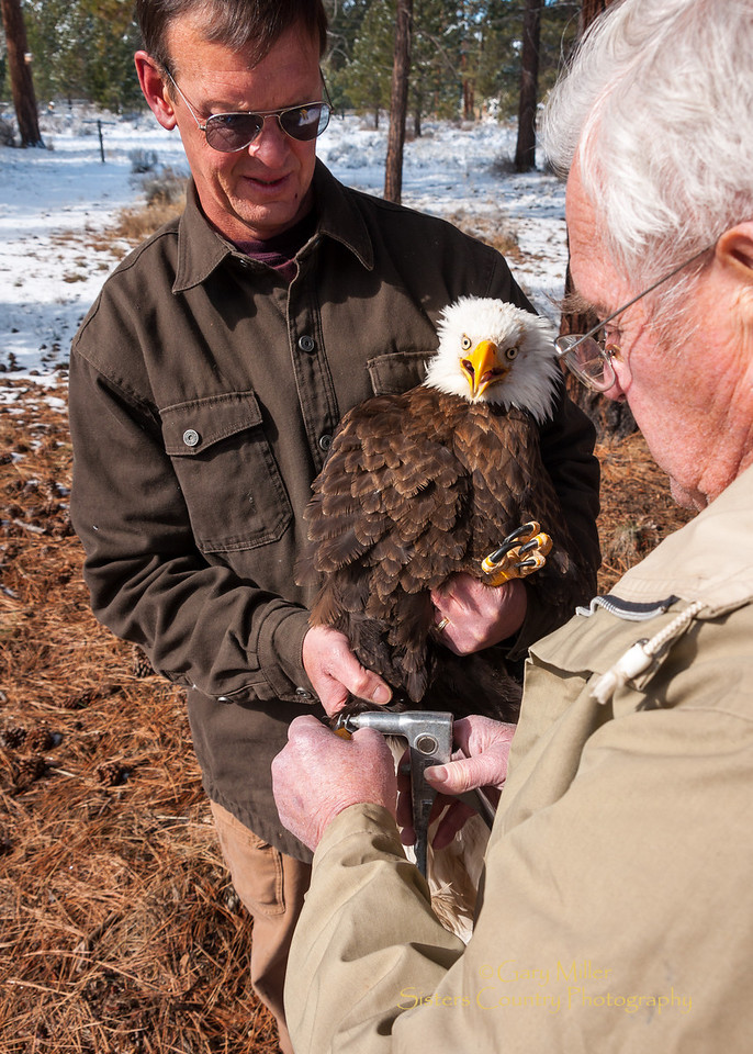 Bald Eagle banding Session - Gary Landers & Jim Anderson band a rehabilitated bald eagle before it's imminent release back to the wilds of Oregon - Photo by Gary N. Miller - Sisters Country Photography