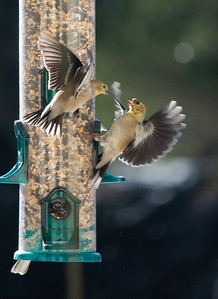 goldfinch fight!