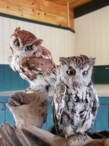 Dale's owls