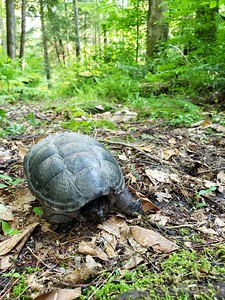 snapping turtle on Brown's Run trail