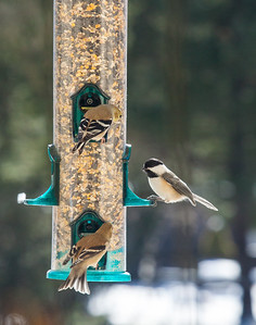 goldfinches regard a black-capped chickadee