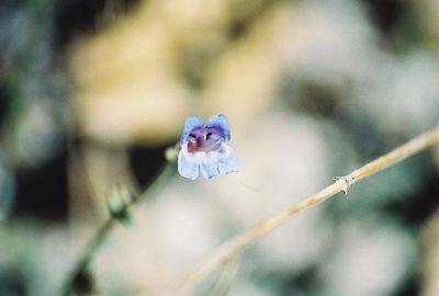 8/17/04 Blue Penstemon (Penstemon laetus). Hwy 120 (Tioga Rd) west of Tenaya Lake, Yosemite National