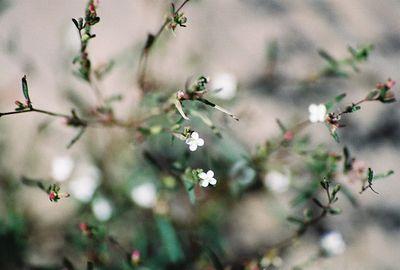 8/17/04 Gayophytum (Gayophytum heterozygum). White Wolf Lodge & Campground (meadow area), Yosemite National Park