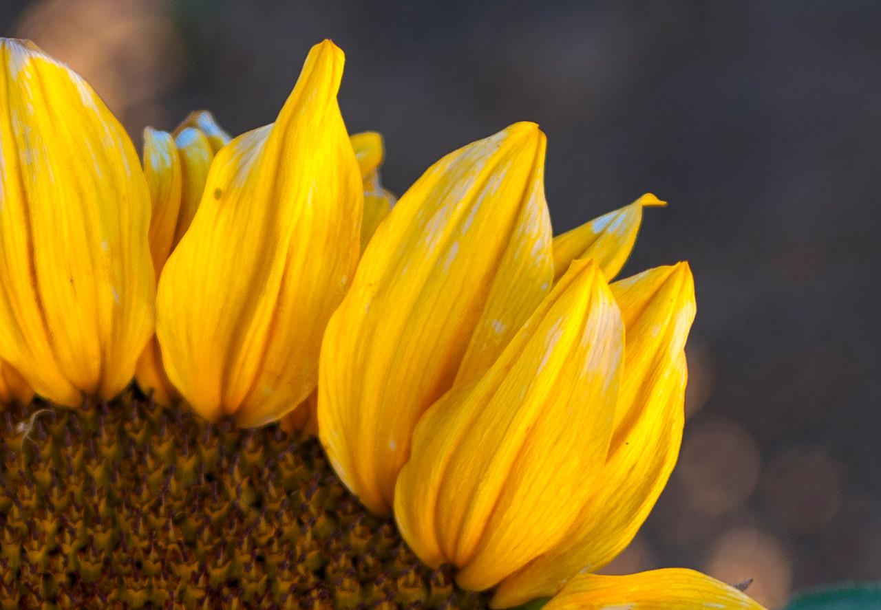 130411_Sunflowers_003-Edit