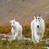 Mountain Goat Kid and Mom