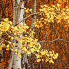 Aspen Branches