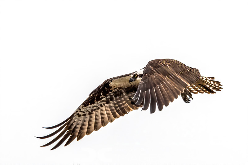 Osprey -2
