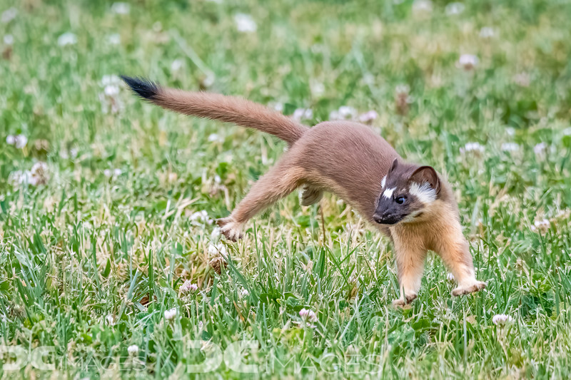 Long-Tailed Weasel kit