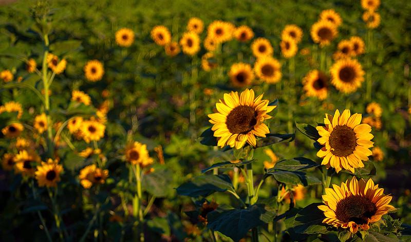 130411_Sunflowers_008-Edit
