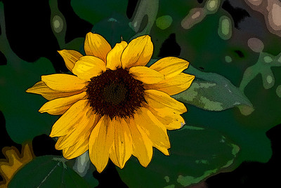 130411_Sunflowers_032-Edit B