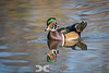 Male Wood Duck in Breeding Plumage