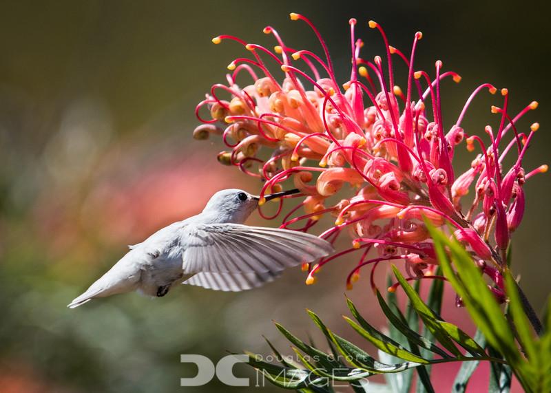 Leucistic (white) Anna's Hummingbird