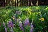 Alpine Meadow Lupines