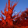Bristlecone Pine & Moon