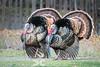 Wild turkeys strutting