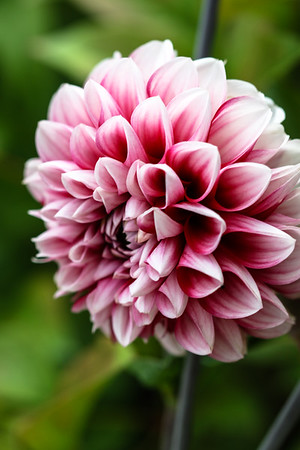 Pink and White Dahlia.