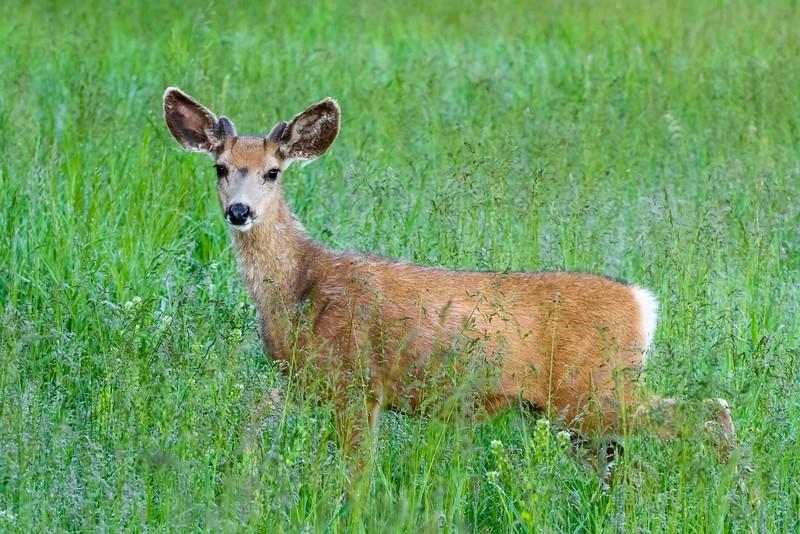 Young Male Mule Deer