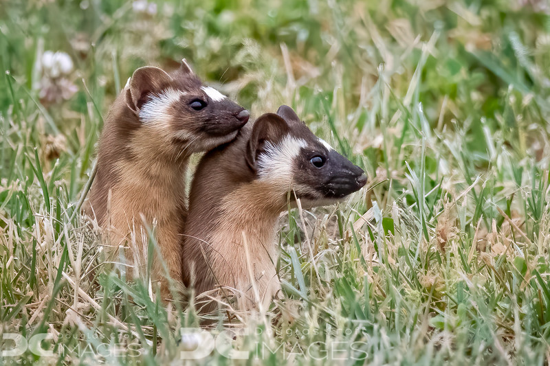 Long-tailed Weasel kits (in a rare still moment)