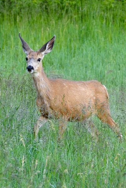 Mule Deer in Meadow