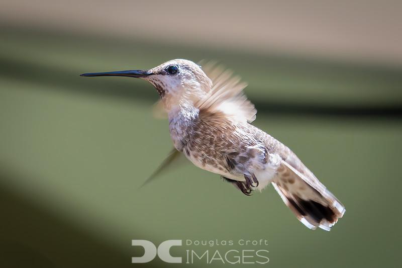 Leucistic Anna's Hummingbird (female)