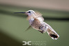 Leucistic Anna's Hummingbird (female)