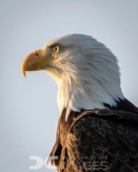Bald Eagle - Close Up