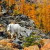 Mountain Goat and Larches