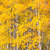 Aspen Grove in Autumn