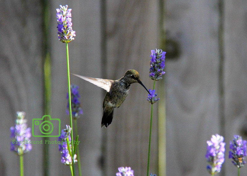 Hummingbird Feeding on Lavender