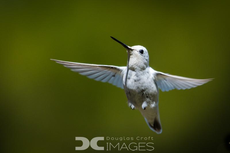 Anna's Hummingbird (leucistic)
