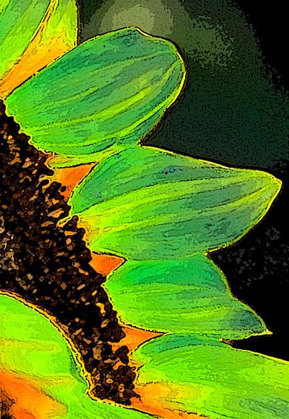 130411_Sunflowers_020-Edit-Edit