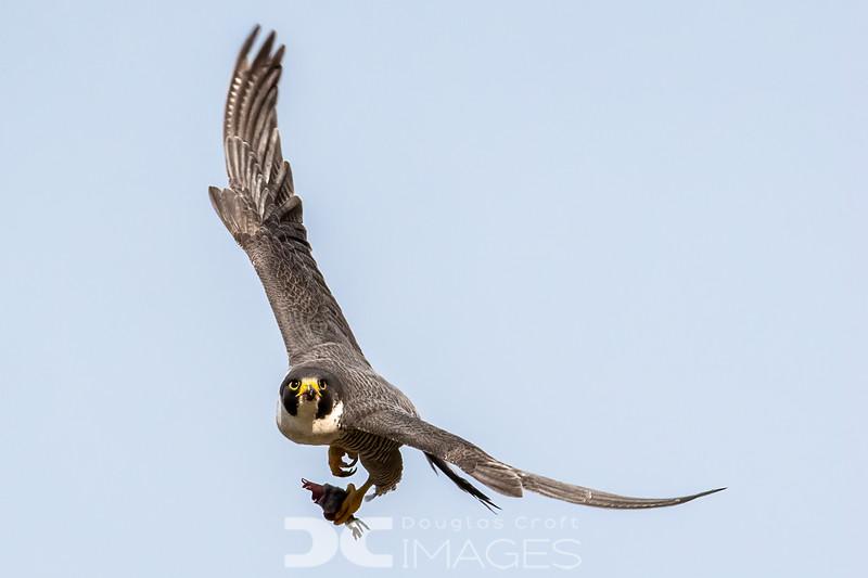 Peregrine Falcon with breakfast