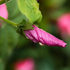 Dripping Mallow Bud