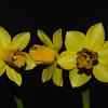 Questioning Daffodils