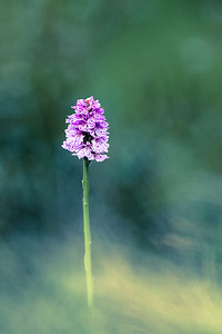 Common Spotted Orchid (Dactylorhiza fuchsii) 2