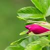 Japanese Rose Flower