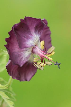 Geranium phaeum,