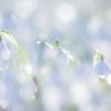 Soft Snowdrops