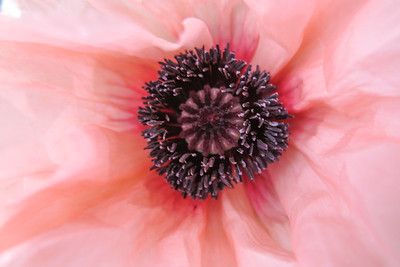 Pink Poppy